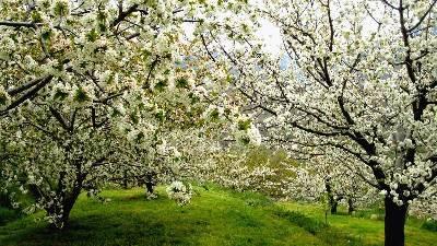 Fiesta del Cerezo en flor del Valle del Jerte - Con La Mochila