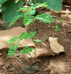MI TECHO VERDE: Flor escondida (Phyllanthus niruri L.)