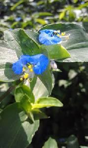 Mi Techo Verde: La Hierba De Santa Lucia (Commelina Erecta)