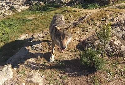 La fabulosa gallina de goma: ¿Quién teme al lobo feroz?