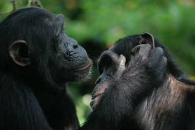 Bonobos y chimpancés son capaces de entenderse con gestos – HISTORICON