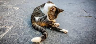 Malta para gatos, ¿Qué es? | Todo para tu gato