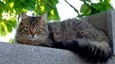Inmunodeficiencia felina (FIV): Síntomas y tratamiento - Mascota a bordo