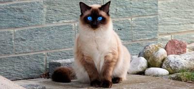El gato siamés | Todo para tu gato