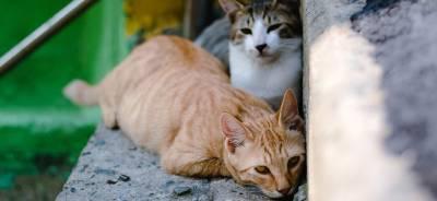 El celo en los gatos | Todo para tu Gato