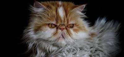 El gato persa | Todo para tu Gato