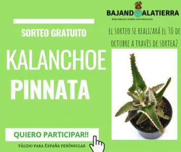 Sorteo gratuito de una kalanchoe pinnata | Bajandoalatierra. com