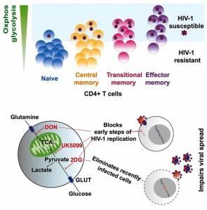 HIV: Hallan diferencia en actividad metabólica que permitiría eliminar linfocitos T infectados