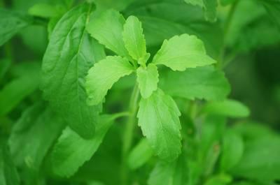 Stevia, La Gran Desconocida