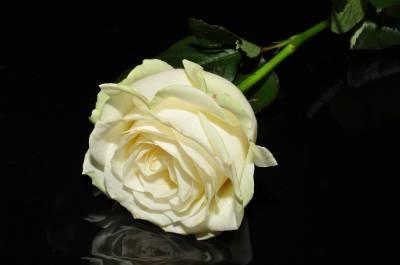 Rosa blanca (poema)