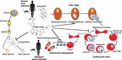 Nueva molécula interrumpe el ciclo de vida del parásito de la malaria