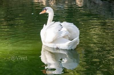 #MiércolesMudo: los cisnes