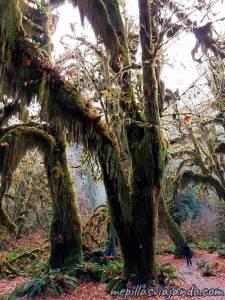 Hoh, el impresionante bosque de lluvia de Washington