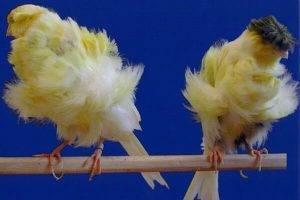 Canario paduano o padovano | Aves domésticas exóticas