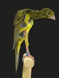 Gibber italicus Aves domésticas exóticas