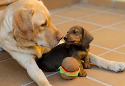 DOS MÁS EN LA FAMILIA: Embarazo psicológico, pseudogestación o pseudociesis en perras.