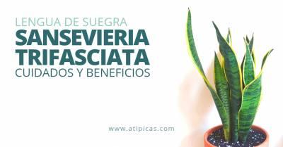 Cómo cuidar la Sansevieria trifasciata o «Lengua de suegra»