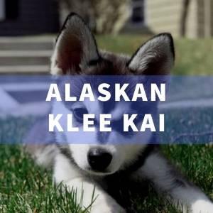 Raza de perro Alaskan Klee Kai