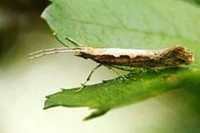 Insectos transgénicos: solución o problema
