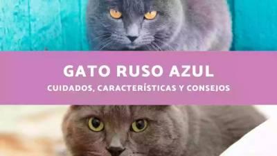 Gato Ruso Azul - Cuidados, Características y Consejos