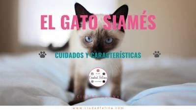 El Gato Siamés – Cuidados y Características