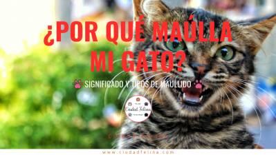 ¿Por qué maúlla mi gato? – Significado y Tipos de maullido