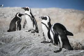Las 19 especies de pingüinos en el mundo