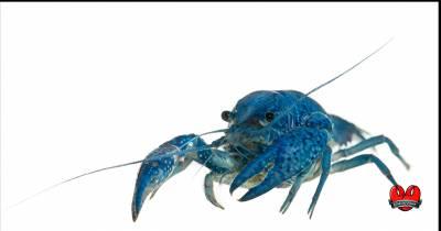 Bogavante azul, joya gallega