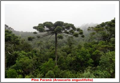 Árboles en mayor riesgo de extinción