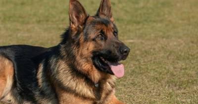 Muere Buddy, el primer perro confirmado con COVID-19 en Estados Unidos