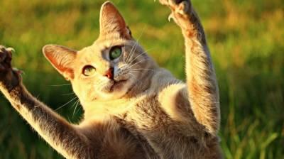 La desungulación de los gatos