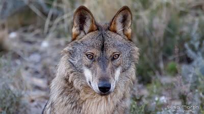 En tierra del Lobo Iberico - Zamora Ruta por la Sierra de la Culebra