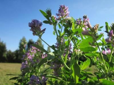 Alfalfa: propiedades y contraindicaciones