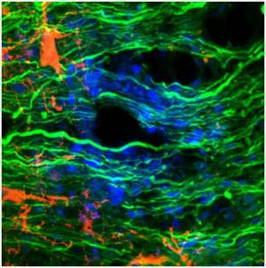 Científicos del CONICET logran recuperar movilidad de ratones con lesión completa de médula espinal