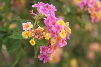 Flor ornamental o especie vegetal invasora - Antonio García Prats