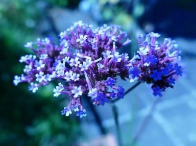 Verbena, la planta mágica