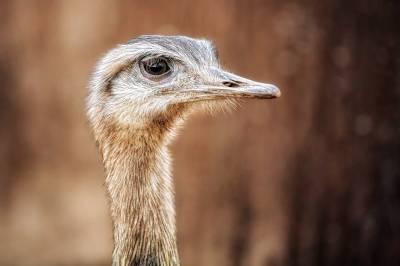 Curiosidades del emú