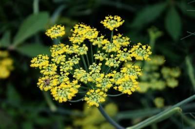 Hinojo, la planta que ahuyenta a las brujas