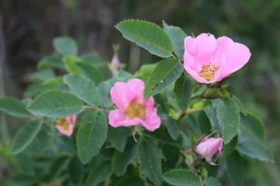 Aceite de rosa mosqueta para el cuidado de la piel